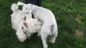 Dog park fun with cousin Mina (Westie)