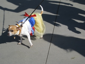 The fairest of them all, Snow White Chihuahua.